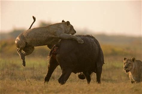 imagenes de leones cazando jirafas le 243 n y leona cazando b 250 falos animales en video