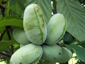 paw paw fruit tree what s a paw paw tree southern living