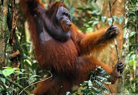 interesting facts  orangutans  fun facts