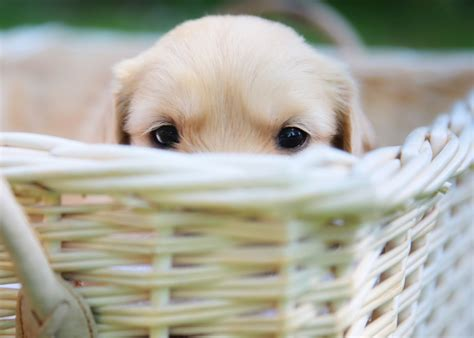 how does the average golden retriever live questions to ask before you bring home a new puppy golden retrievers
