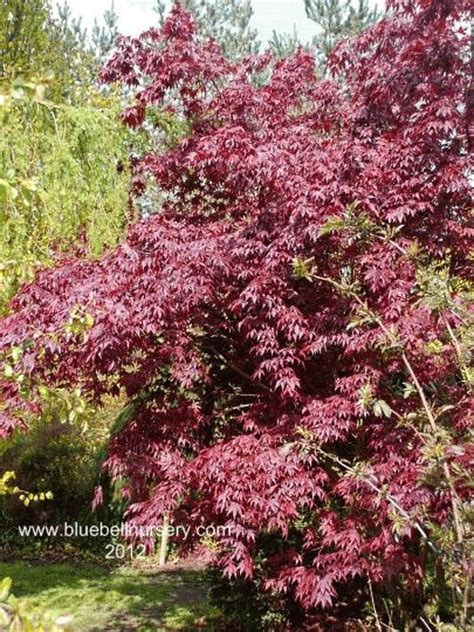 50 best images about acer maples on trees lush green and scarlet
