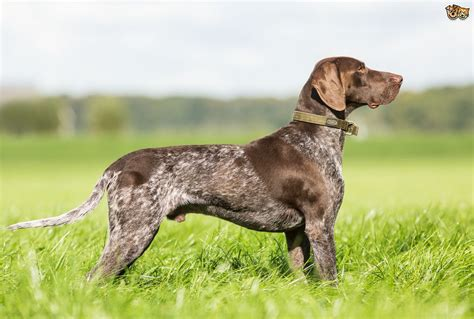 german haired pointer puppies german shorthaired pointer breed information buying advice photos and facts