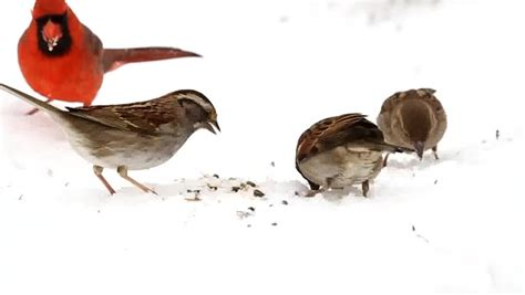 northern cardinal and other songbirds eating seeds in the