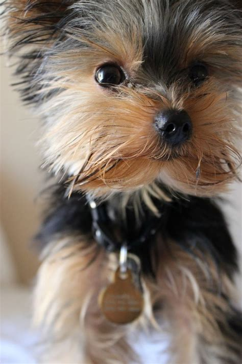 yorkie hypoallergenic 17 best images about s beat friend on terrier