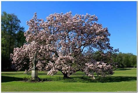 alberi da giardino sempreverdi alberi sempreverdi da giardino alberi sempreverdi per