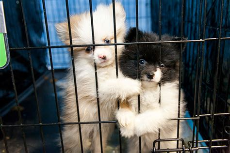 puppy finder by state aspca places dogs rescued from alabama puppy mill in 11 states care your pet or