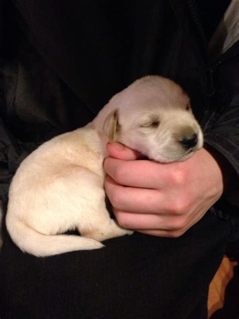 puppies at 2 weeks 2 week yellow lab puppy labradors