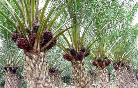 Coklat Kurma Batang standar pemeliharaan kelapa sawit tbm tm it s me