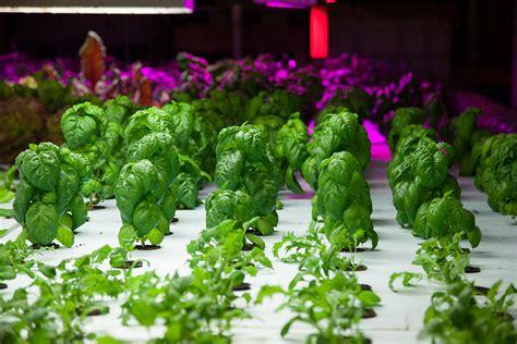 Garden Ideas hydroponic spinach plant care gardening ideas