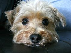 can i give my yorkie benadryl morkie on yorkie maltese and dogs