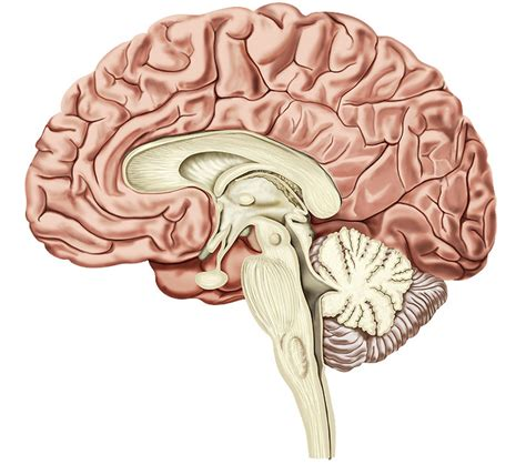 cross section of the human brain human anatomy cross section human anatomy charts