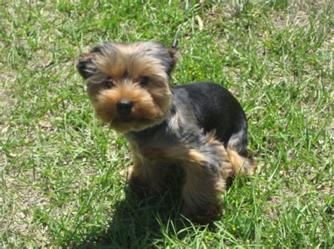 new yorkie puppy bambam outside new yorkie haircut terrier hairstyles ideas
