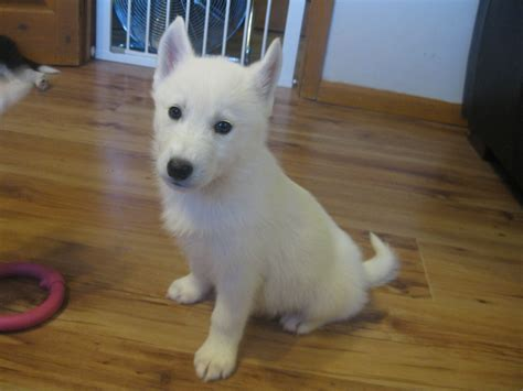 samoyed husky puppies husky x samoyed boy puppy ready now reduced dursley gloucestershire pets4homes