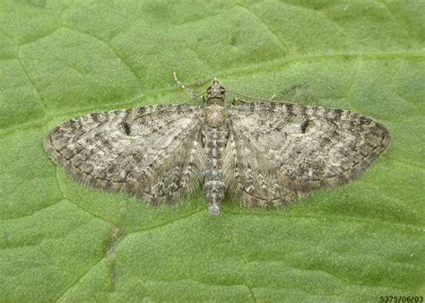 grey pug moth grey pug eupithecia subfuscata ukmoths