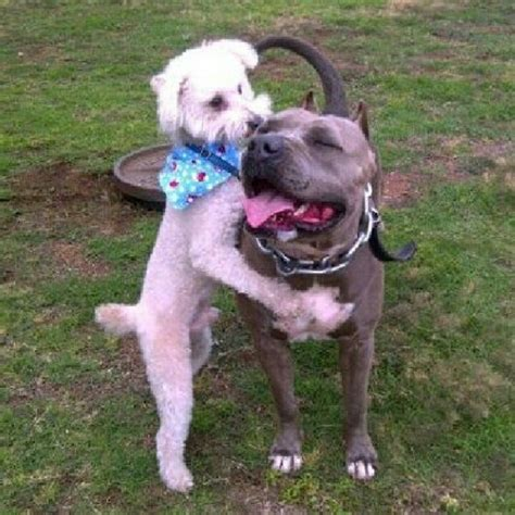 pitbull poodle mix puppies sale pitbull poodle mix pictures breeds picture