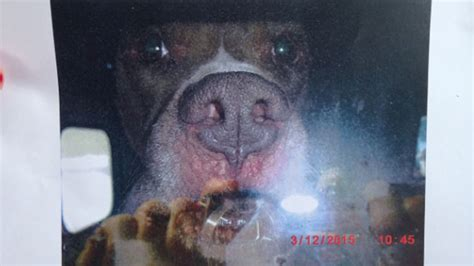 golden retriever puppies plainville ct pit bull attacks in the news daxton s friends
