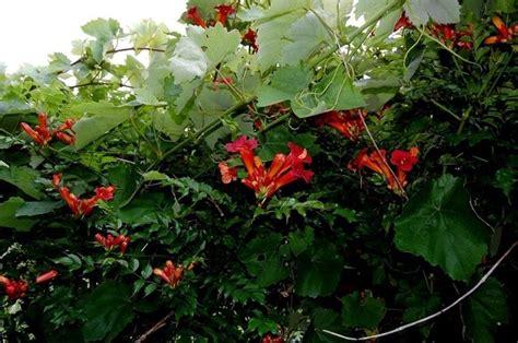 piante da giardino esterno piante ricanti da esterno ricanti piante
