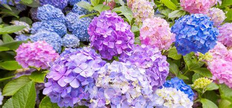 top 15 most beautiful hydrangea flowers
