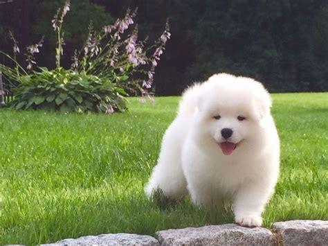 White magic samoyeds samoyed puppies for sale