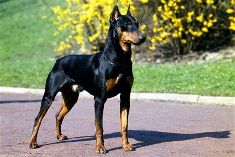 best guard breeds top 5 guard breeds for children and family security