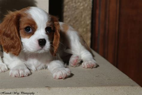 puppies for sale in ct cavalier king charles puppies for sale new york new hshire canada