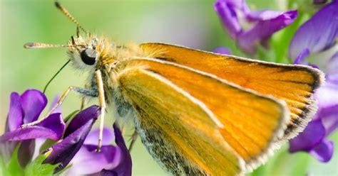 2012 Sb Butterfly Jumbo Tunik prairie nature orange skipper butterflies on purple flowers