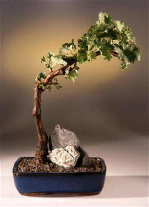Cabernet Grapevine Bonsai It Or It by Wine Grape Bonsai Bonsai Treetempranillo