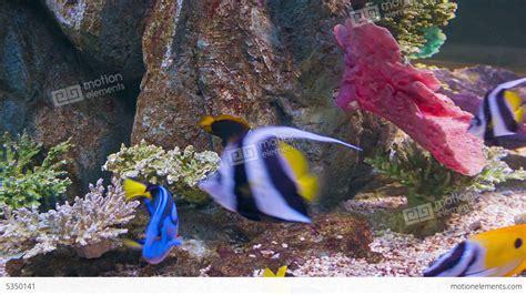 colorful aquarium fish colorful tropical fish in aquarium stock footage