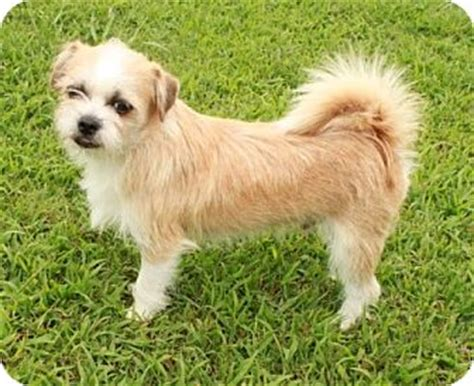 shih tzu breeders nh wheaton adopted puppy salem nh shih tzu chihuahua mix