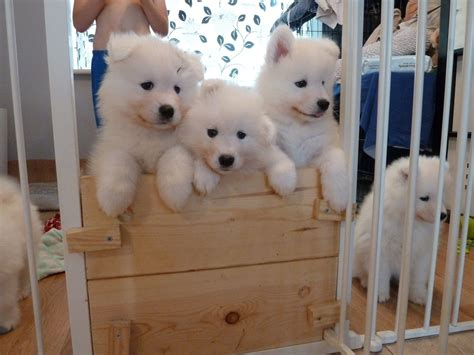 samoyed for sale kc registered samoyed puppies beverley east of pets4homes