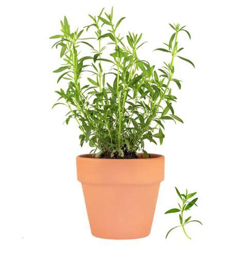 Best Herbs To Grow Indoors how to grow tarragon herb gardening guide