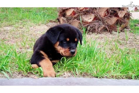 rottweiler puppies for sale in san diego san diego rental backpage