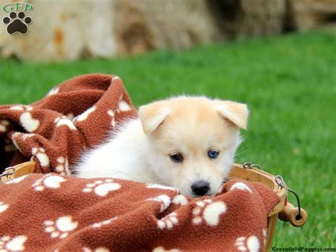 pomsky puppies for sale in pa 17 best images about pomsky puppies for sale on puppys husky and pomsky