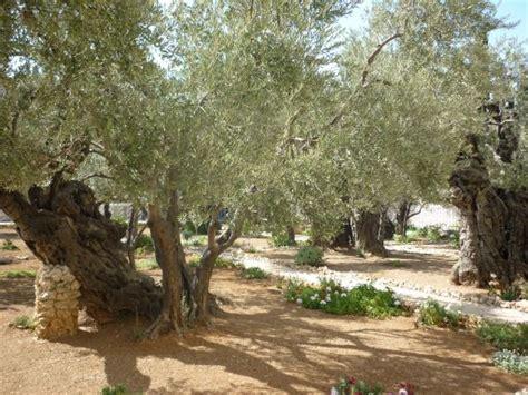 garten getsemane impressionen aus israel 4 jerusalem al quds 171 l for