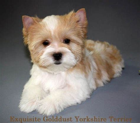gold dust yorkies for sale terrier golddust pup retired nfl player brandon whiting his fomer