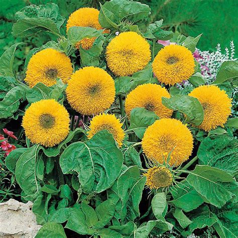 Bibit Bunga Matahari Merah jual bibit bunga matahari teddy benih biji