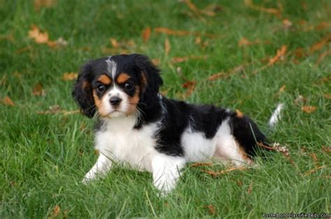 cavalier king charles spaniel puppies price akc cavalier king charles spaniel puppies price 800 00 for sale in lake