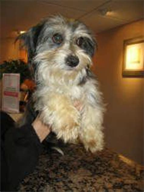havanese rescue ohio 1000 images about adoptable pets in ohio on toledo bff and chihuahua mix