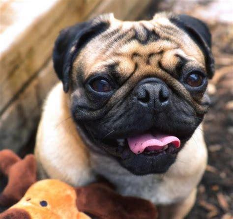 pug rescue ga pug rescue driverlayer search engine