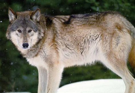 graywolf other friendship white grey wolf animal