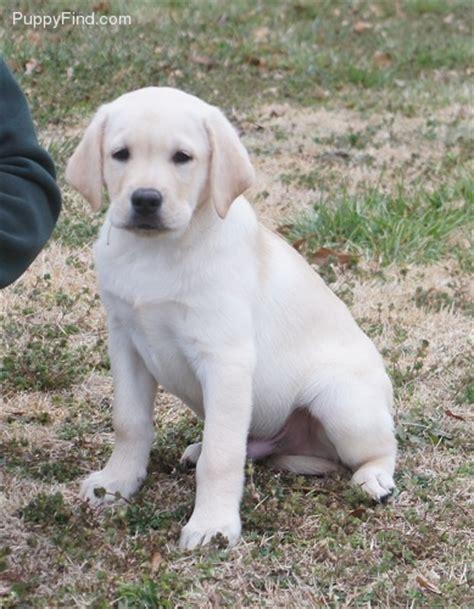 blockhead lab puppies blockhead lab breeds picture