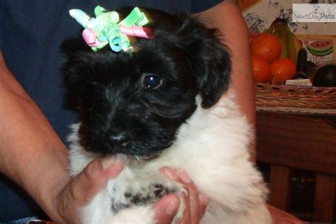 havanese puppies in nj havanese puppy for sale near south jersey new jersey eda967e5 6121