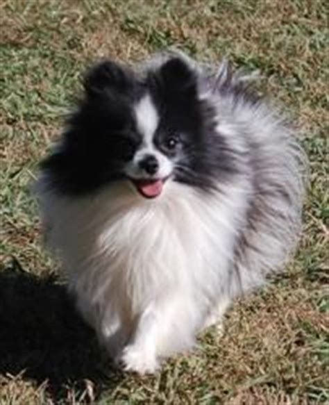pomeranian puppies for sale in redding ca pomeranian puppies for sale in oklahoma puppies animals baby
