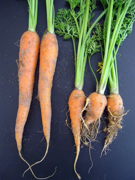 root knot nematode resistant vegetables root knot nematodes in western australia agriculture and