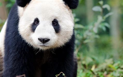 The Year Of The Panda beautiful and pandas peculiarities you quiz club
