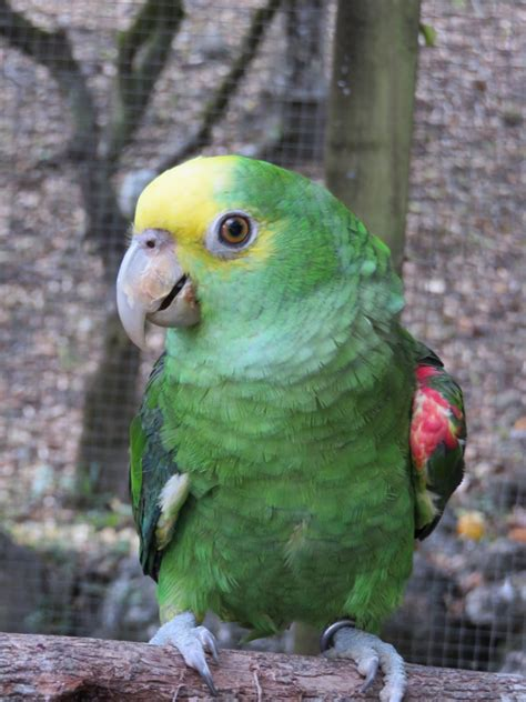 love bird rescue belize bird rescue if you parrots set them free san pedro scoop