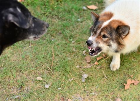 aggression in dogs when your is overly aggressive towards other dogs petmd