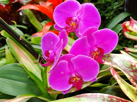 top 28 how big can orchids get orchids plant crack the homestead hobbyist kona orchid