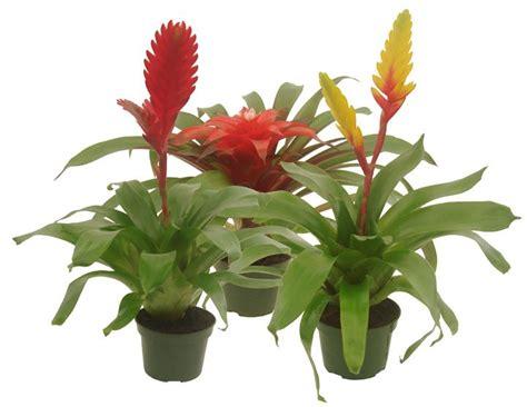 Tropical Plant Care - 32 best virgin farms garden roses images on pinterest