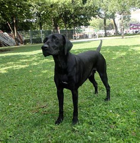 labrador sucht zuhause platz gesucht f 252 r labrador h 252 ndin animal spirit at